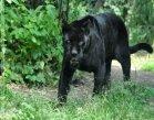black panther spirit animal