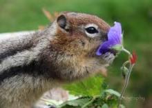 chipmunk with flower