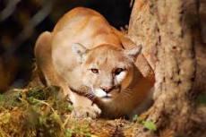 cougar symbol