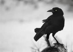 crow on tree stump
