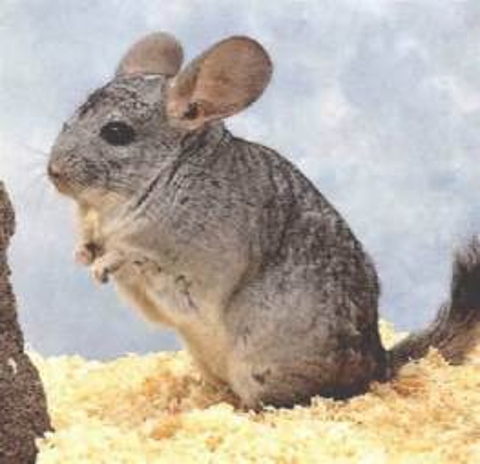 chinchilla gray