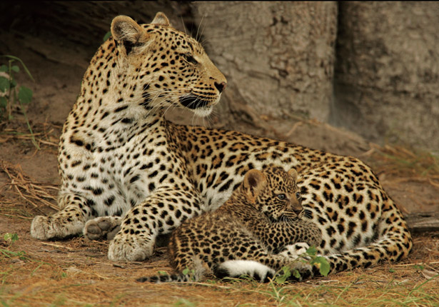 Leopard with cub