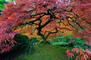 Japanese Maple in Portland Garden