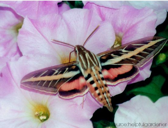 Moth Symbolism ~ White Lined Sphinx