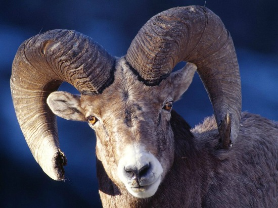 Ram Animal Meaning and Symbolism