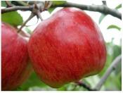 Apple - symbol of love