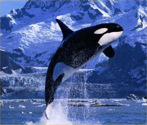 Killer Whale ~ Orca