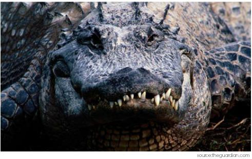 Alligator Symbolism Amp Alligator Meaning Totem Amp Spirit