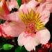 alstromeria flower