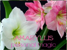 amaryllis flower oracle