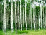 Aspen symbolizes exploring, spreading, expanding, searching, desiring a fuller expression of self ...
