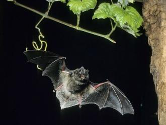 Bat Spirit Animal