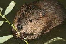 Beaver spirit animal