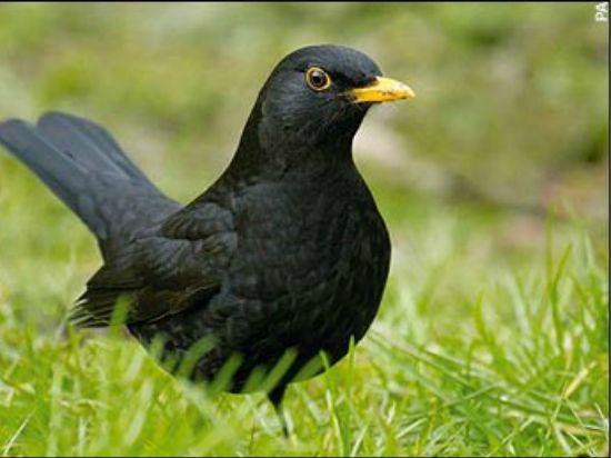 Blackbird Symbolism Blackbird Meaning
