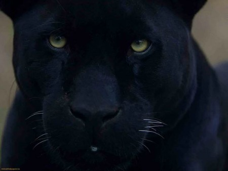 Black Panther Animal Magic:  Rites of Passage, Visions of the Future ...