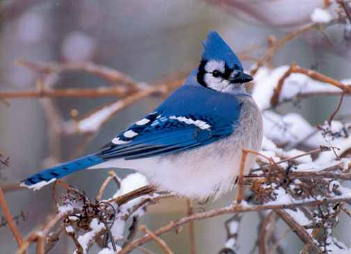Blue Jay symbol of authority