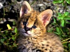 bobcat spirit animal