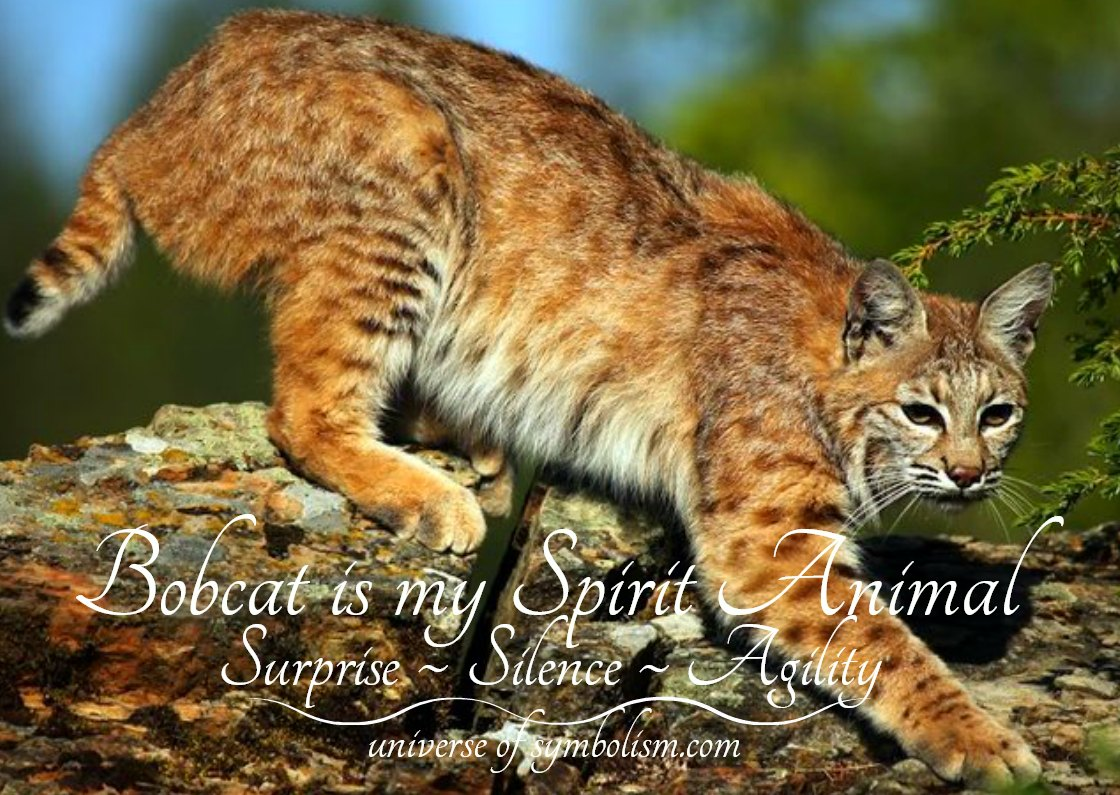 Bobcat Symbolism Meaning Bobcat Spirit Totem Power Animal