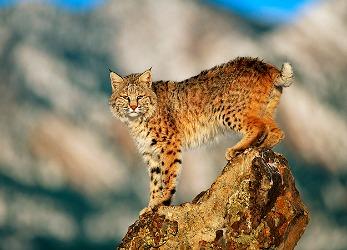 Bobcat Symbolism & Meaning | Bobcat Spirit, Totem & Power ...