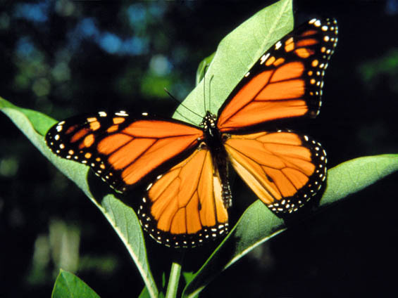 The gorgeous Monarch Butterfly