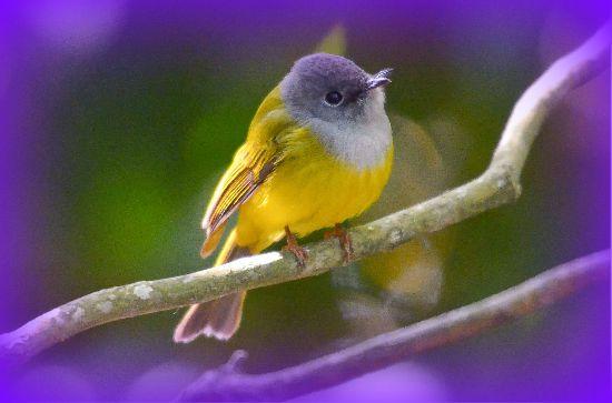 Canary Symbolism