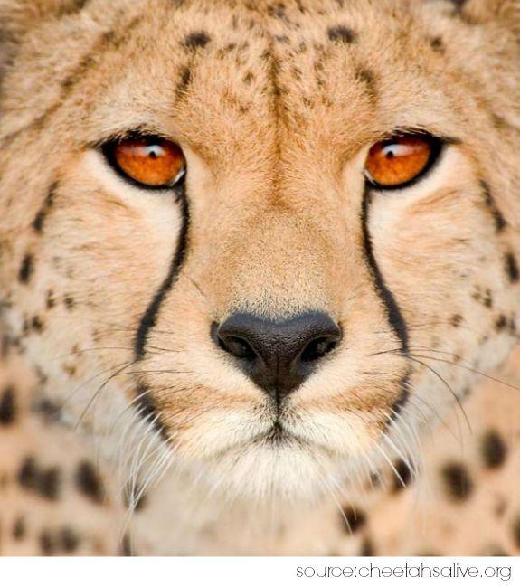 Cheetah Symbolism