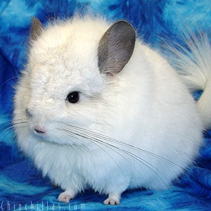 royal persian chinchilla
