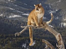 mountain lion on a limb