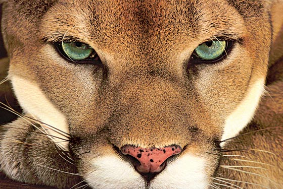 mountain lion spirit animal