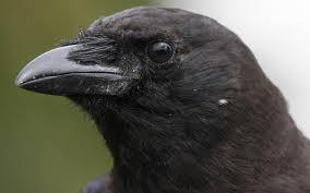 crow a spirit of magic