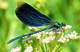 dragonfly spirit animal symbolism & totem animal powers