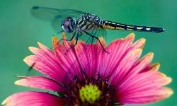 dragonfly spirit animal