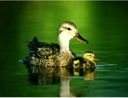 duck meaning and symbolism. duck with duckling