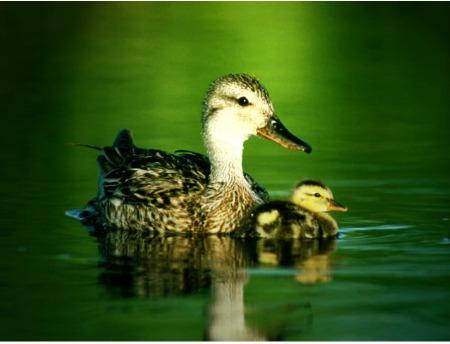 Duck Symbolism Duck Meaning Duck Spirit Animal