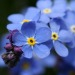 forget me not flower meaning