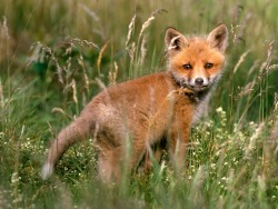 fox kit symbol of play