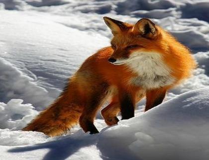 fox tattoo idea: fire and ice