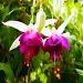 fuschia flower meaning
