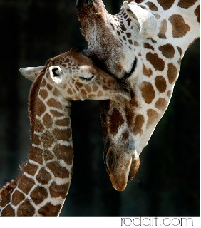 giraffe  mama with baby