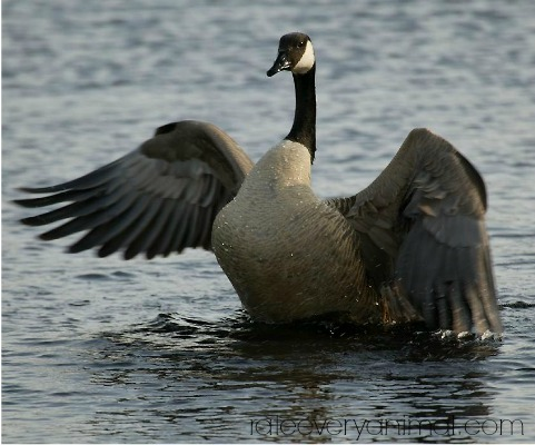 goose symbolism - goose spirit animal
