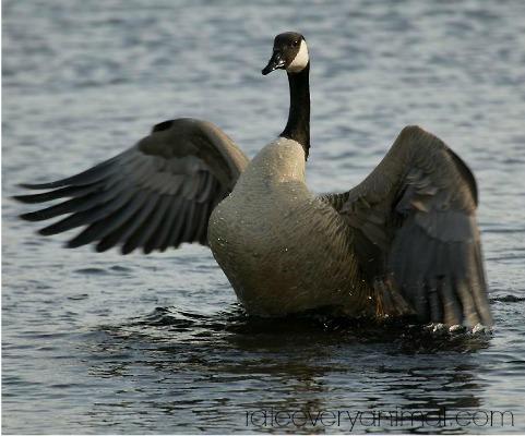 goose symbolism - goose spirit animal