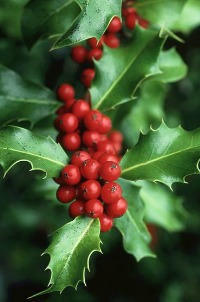holly - christmas symbol