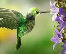 hummingbird symbol of love