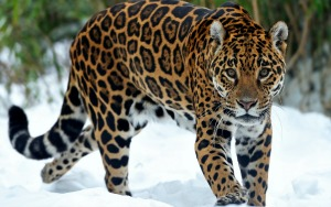Jaguar Symbol of Intent