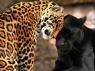 jaguars golden and black