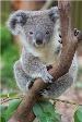 koala symbol
