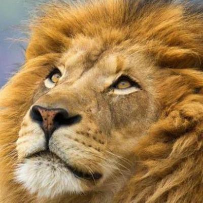 Lion Symbolism Spiritual Meaning Lion Spirit Totem Power Animal
