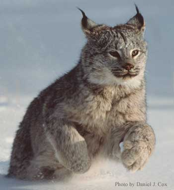 lynx running in the snow