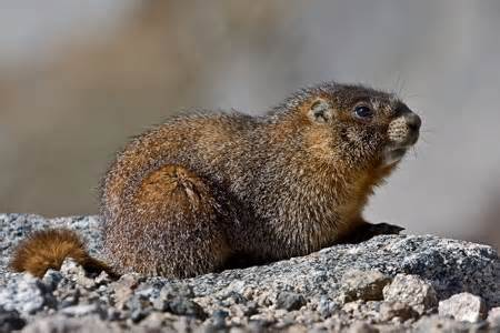 marmot aka groundhog and woodchuck