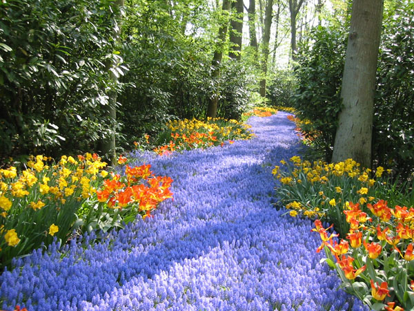 path of bluebell flowers